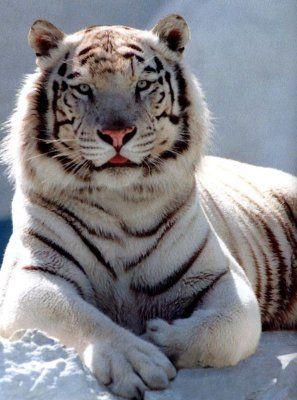 Dessin a colorier tigre blanc - Tigre blanc dessin ...